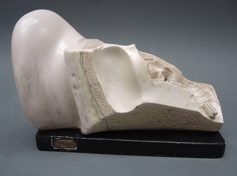 19th Century Didactic Anatomical Model of the Ear by Bock-Steger Lips For Sale 1