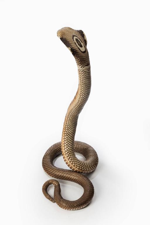19th Century Antique Taxidermy Monocled Cobra