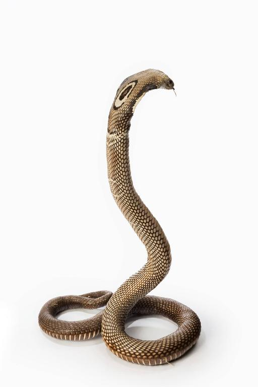 Antique Taxidermy Monocled Cobra 1