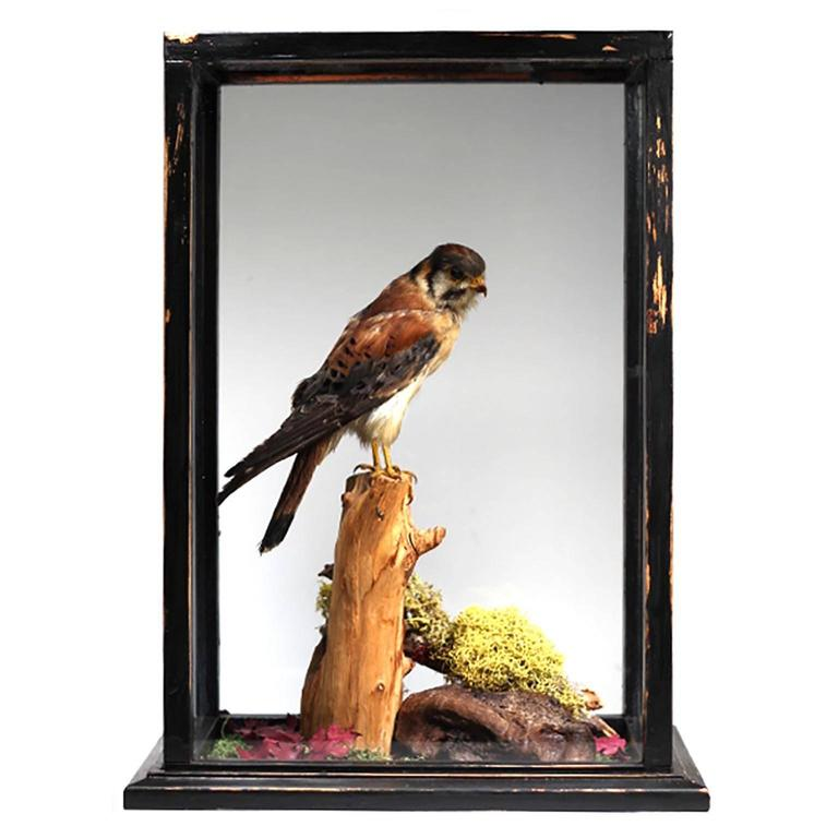 Early 20th Century Taxidermy Kestrel In Glass Case At 1stdibs