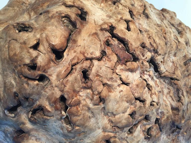 Big beautiful old japanese natural organic root wood burl