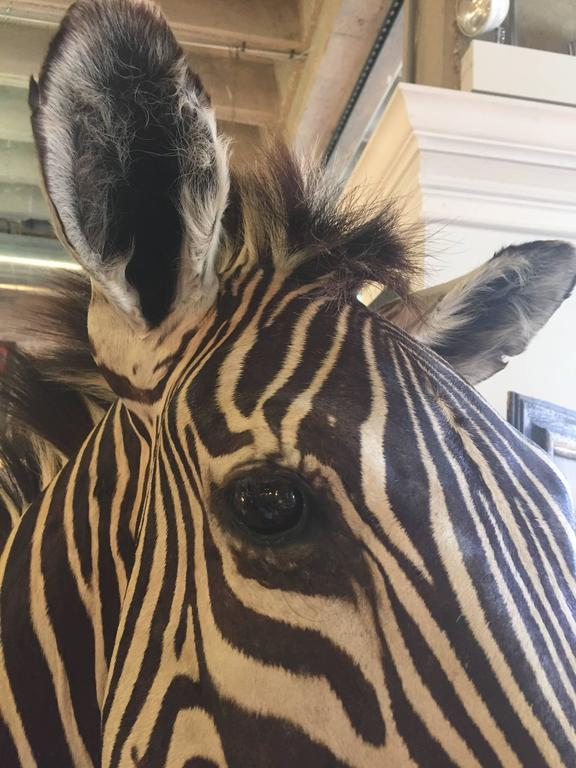 African Zebra Mount Taxidermy For Sale