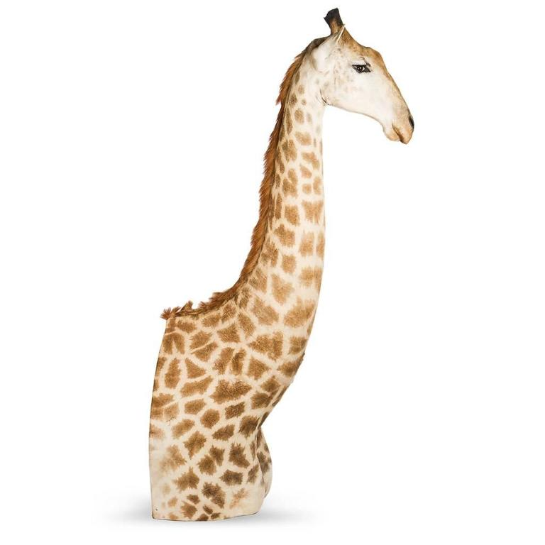 Contemporary Rare African Taxidermy Massive Tall Part Giraffe