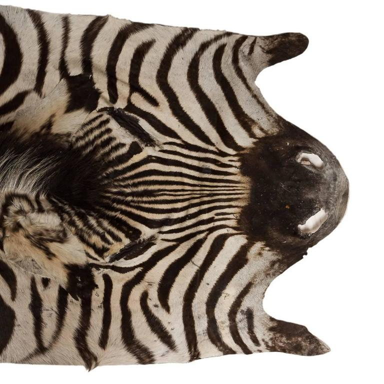 * * * Our company policy is not to ship any taxidermy items to the USA. We apologise from any inconvenience this may cause. * * *  Genuine and decorative African Burchell's zebra skin, particularly large and extremely well preserved, can be used as