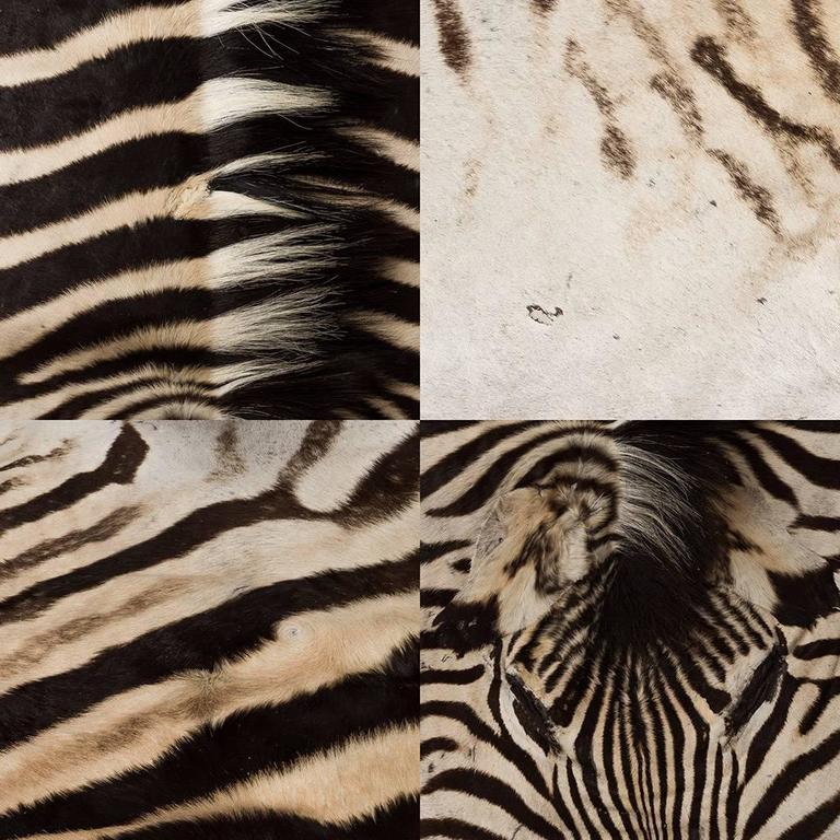 Genuine Large African Burchell Zebra Skin For Sale 4