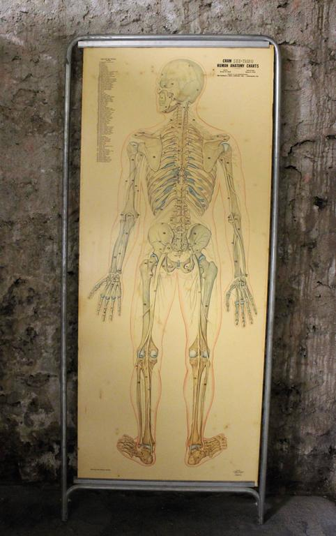 Medical Anatomy Chart Titled 'Thin Man' For Sale 1