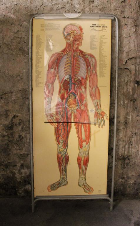 20th Century Medical Anatomy Chart Titled 'Thin Man' For Sale