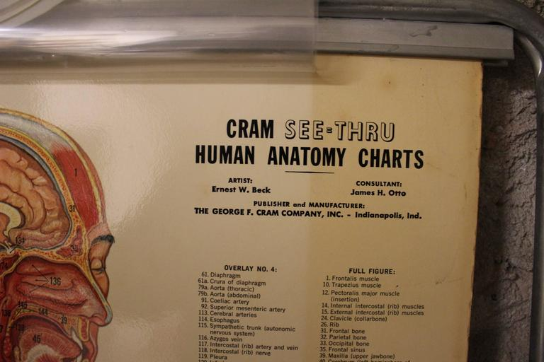Medical Anatomy Chart Titled 'Thin Man' For Sale 2