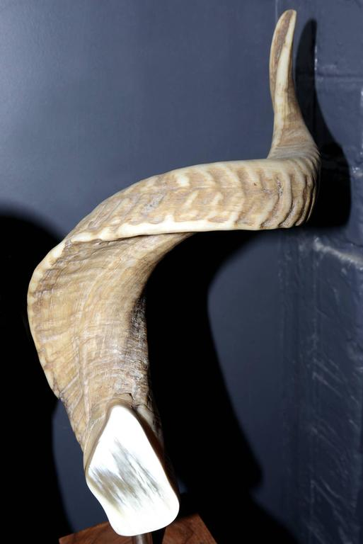 Aries Horns Set of Two on Noble Wood Base For Sale 1