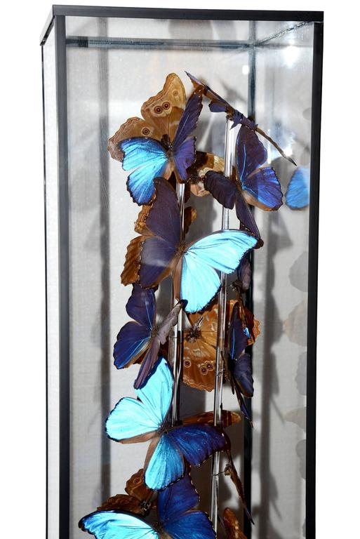 Butterflies Morphos flight arranged under square framework. Morphos from Peru, South America.