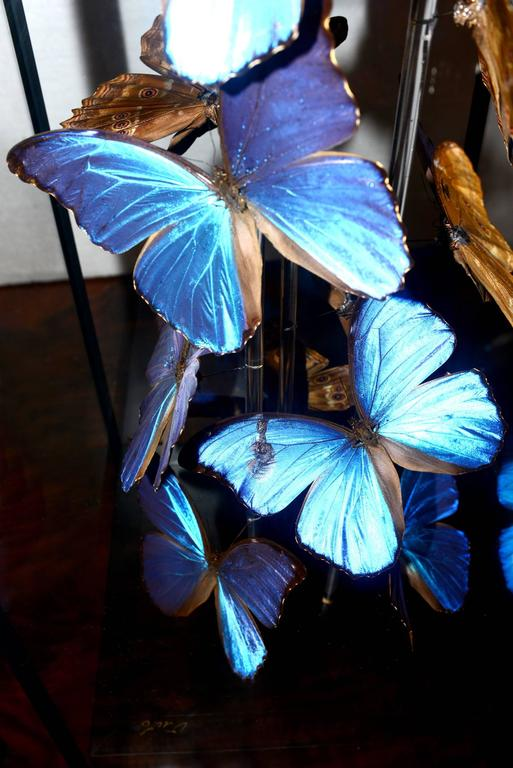 Butterflies Morphos Flight Arranged under Square Framework In Excellent Condition For Sale In Paris, FR