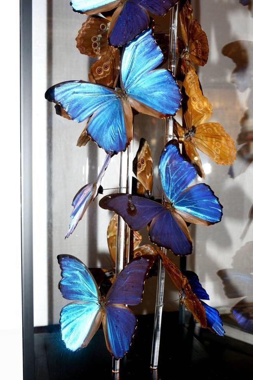 Butterflies Morphos Flight Arranged under Square Framework For Sale 1