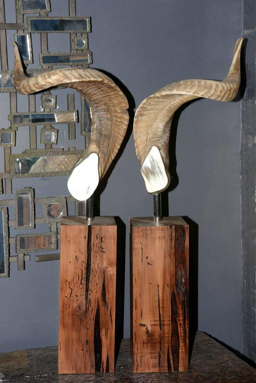 Set of two Aries horns on noble  wood base, exceptional piece,
