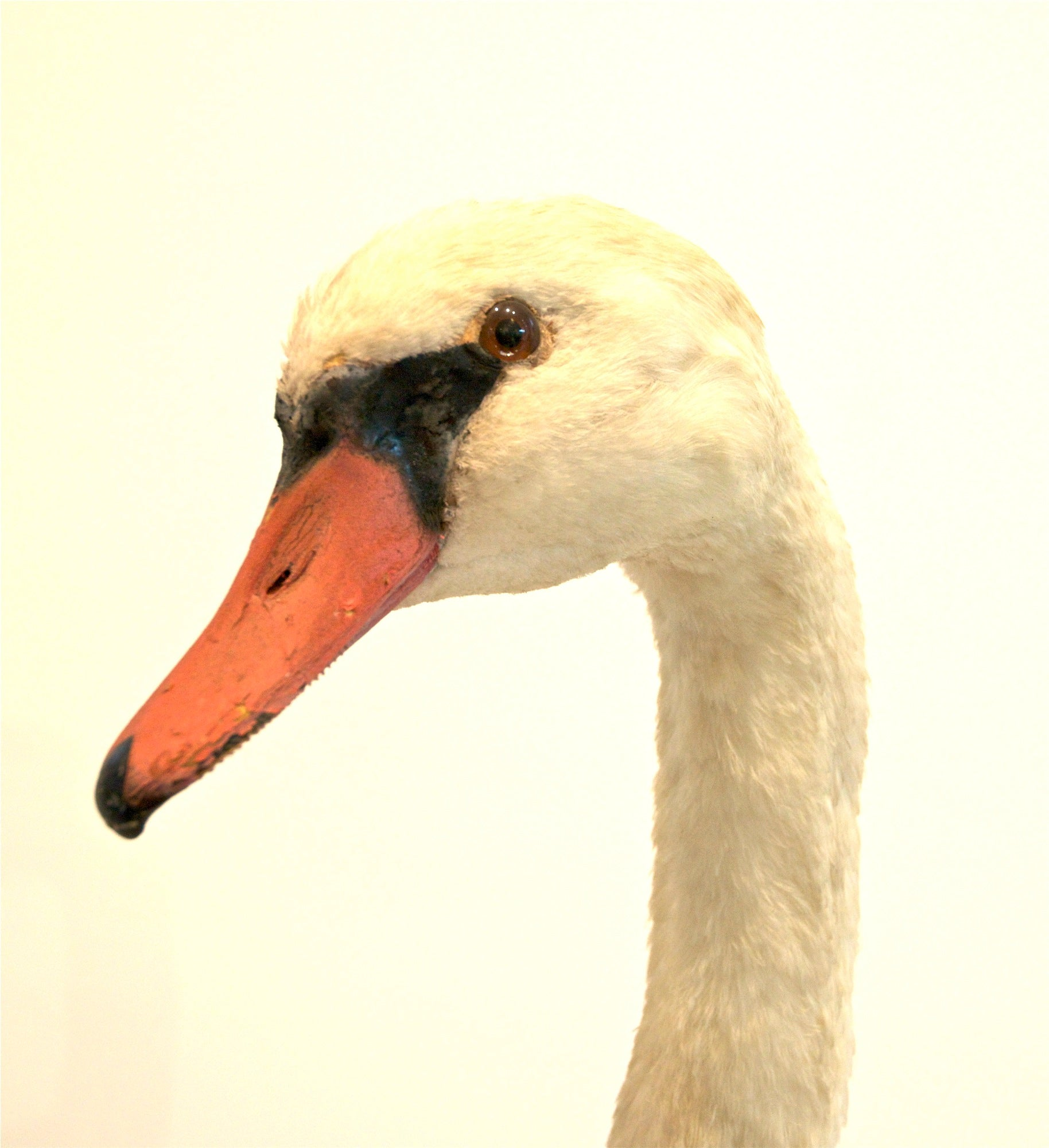 Taxidermy Mute Swan For Sale at 1stdibs