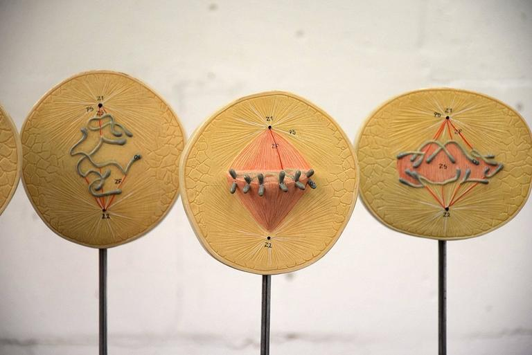 German 1960s Complete Set of Mitosis / Cell Division Models For Sale
