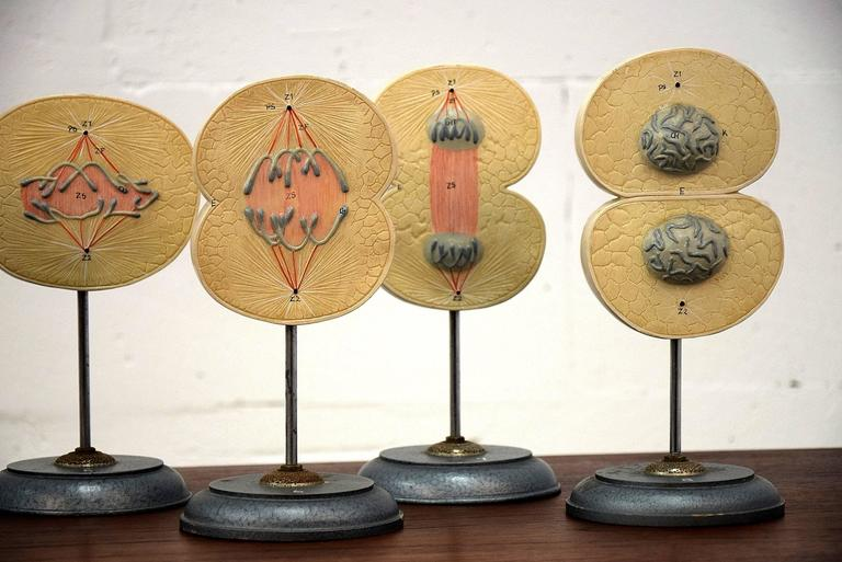 1960s Complete Set of Mitosis / Cell Division Models For Sale 3