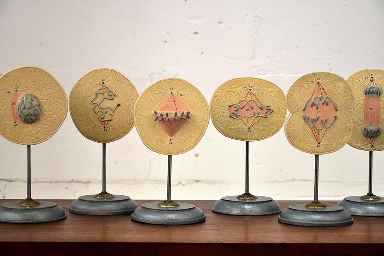 A sculptural 1960s set of eight showing the division of a cell in 3D.