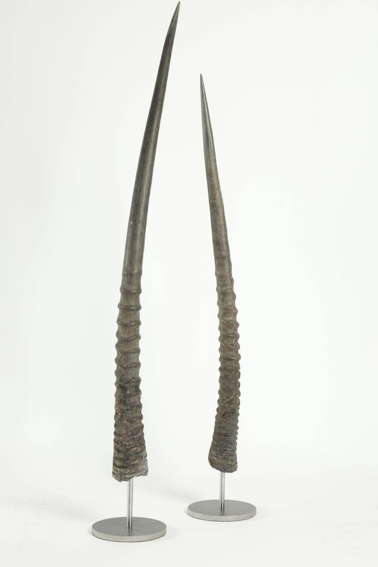 Pair of African Antelope Horns Mounted on Base of Stainless Steel In Excellent Condition For Sale In Saint-Ouen, FR