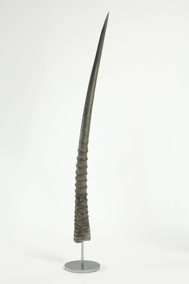 Early 20th Century Pair of African Antelope Horns Mounted on Base of Stainless Steel For Sale