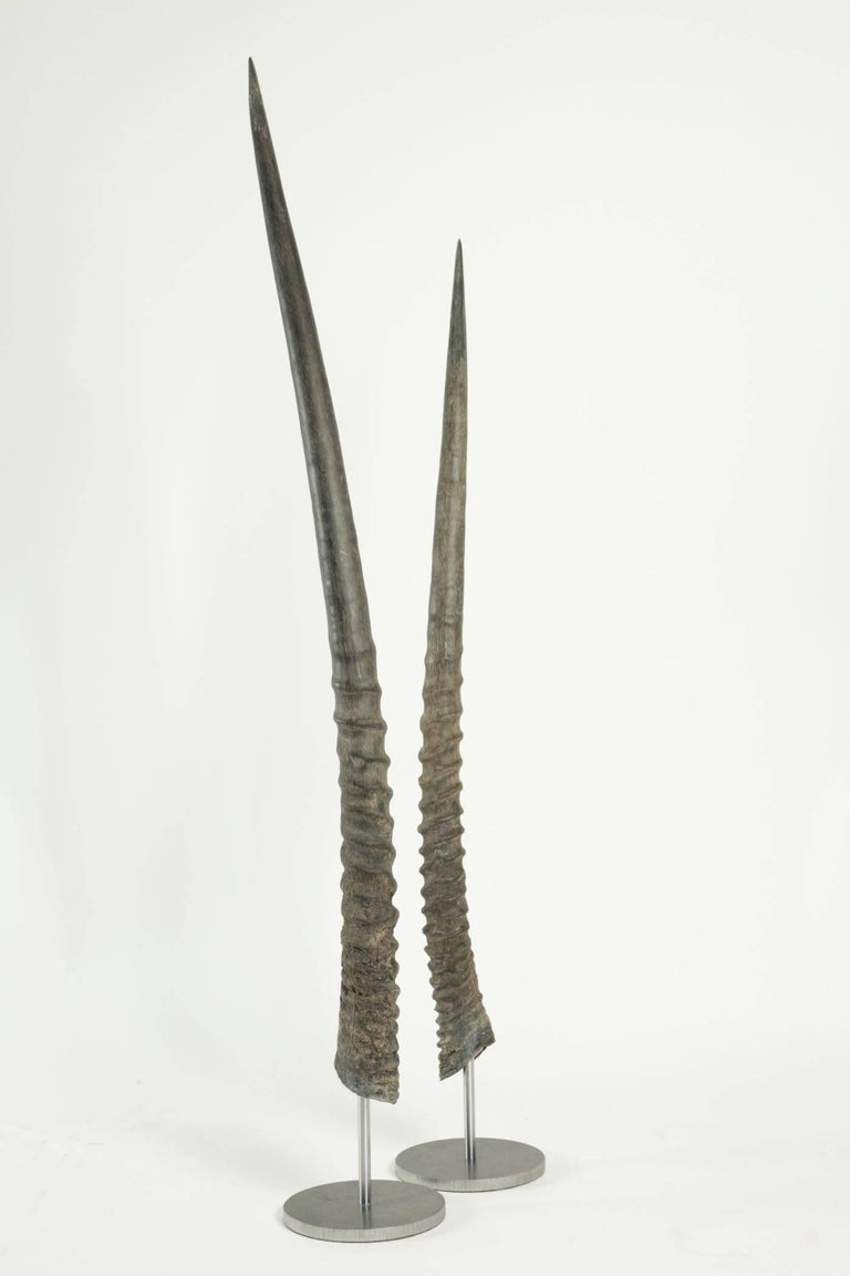 Pair of African Antelope Horns Mounted on Base of Stainless Steel For Sale 2