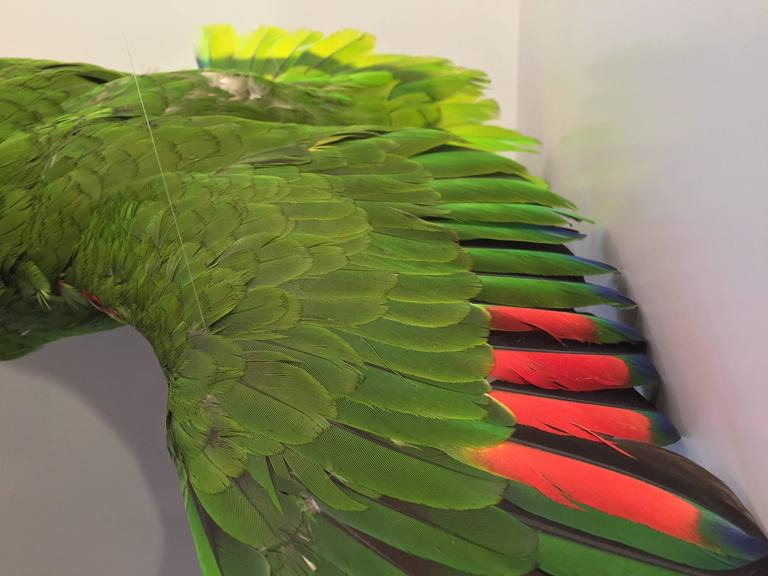 Late Victorian Flying Amazon Taxidermy Parrot For Sale