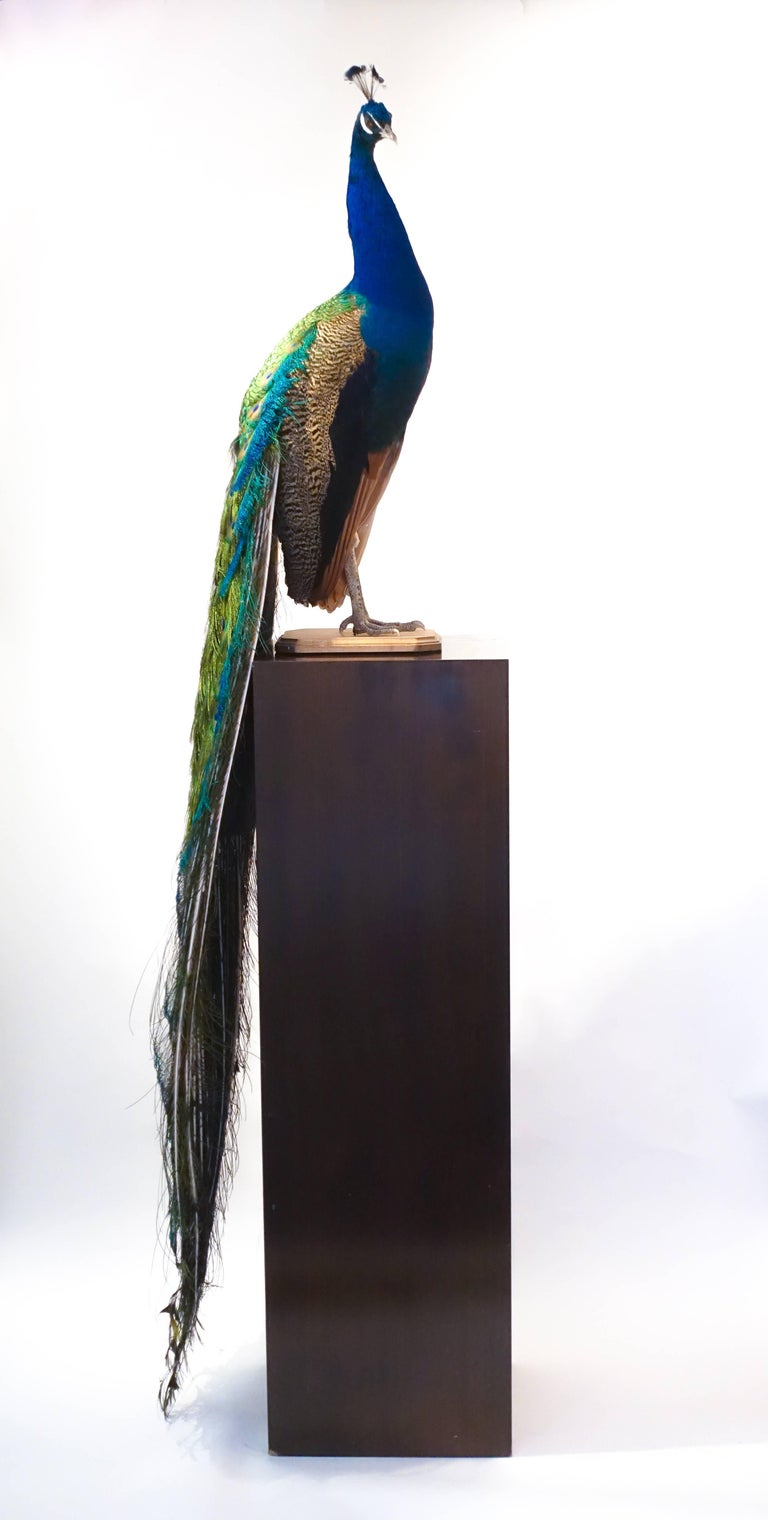 Indian blue peacock taxidermy mount with beautiful iridescent blue and green coloration. It is mounted on an oval wooden base and can be displayed by placement on a wall bracket, mantelpiece or Stand. There are many possible display options as the