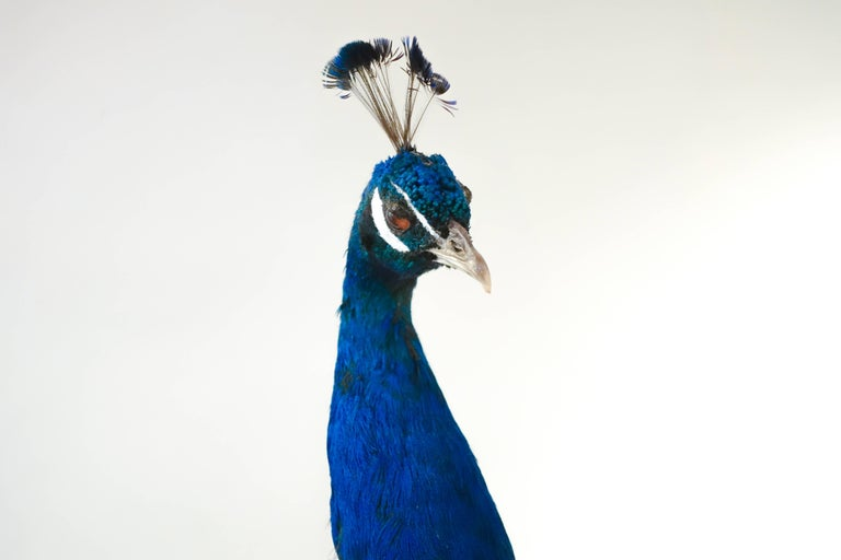 Anglo-Indian Indian Blue Peacock For Sale