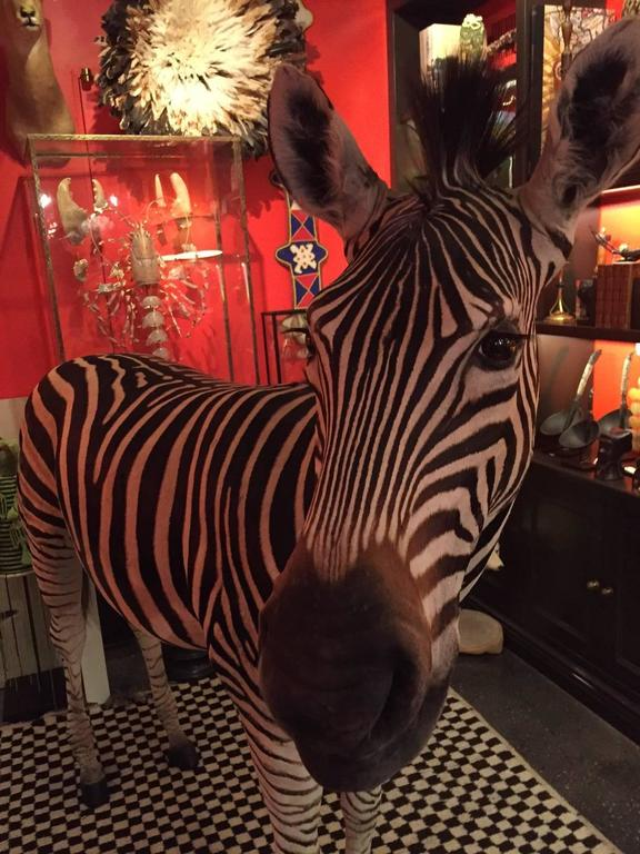 Rare Freestanding Full Taxidermy Mount of a Burchell's Zebra from South Africa 3