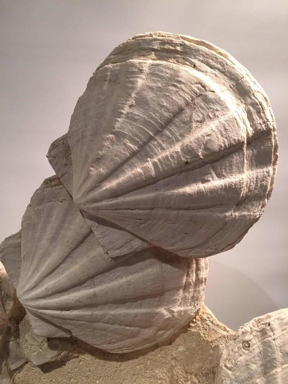 Large Mounted Pre-Historic Pecten Fossil Specimen from the Carboniferous Period 3