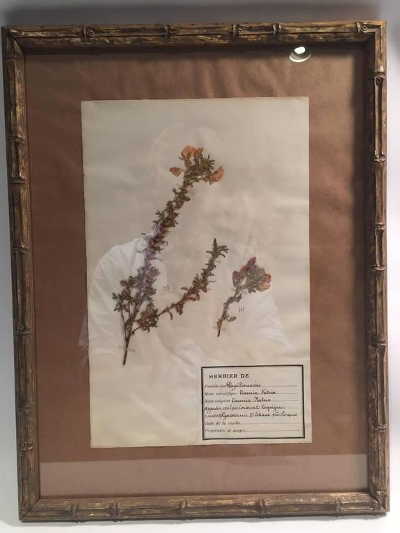 "Late 19th Century Framed and Pressed French Herbier ""Pressed Plant"" Specimens 3"