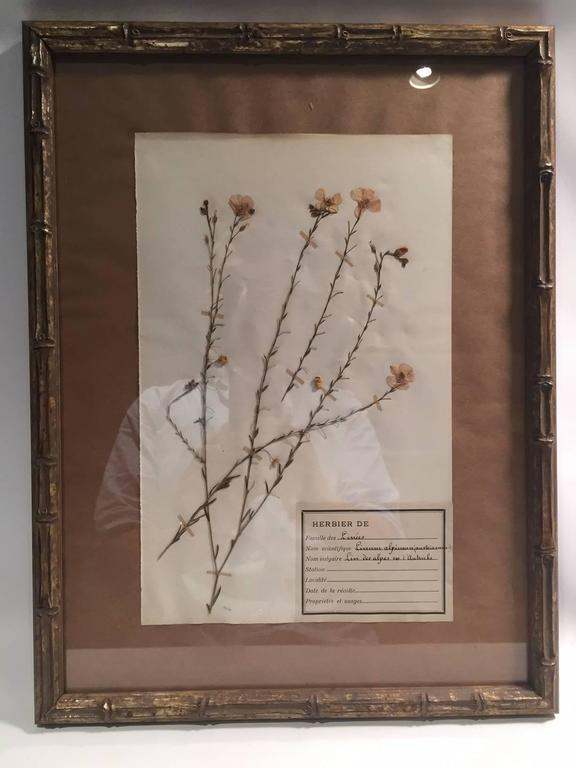 "Late 19th Century Framed and Pressed French Herbier ""Pressed Plant"" Specimens 6"