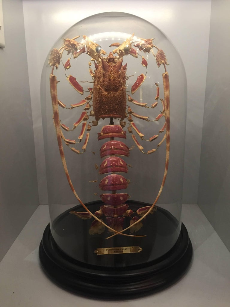 A deconstructed lobster (Palinurus vulgaris) mounted on a black painted wood base with a glass dome, made in France .  The technique was invented by Dr Claude Beauchene in France in the 19th century and involves the meticulous taking apart of all