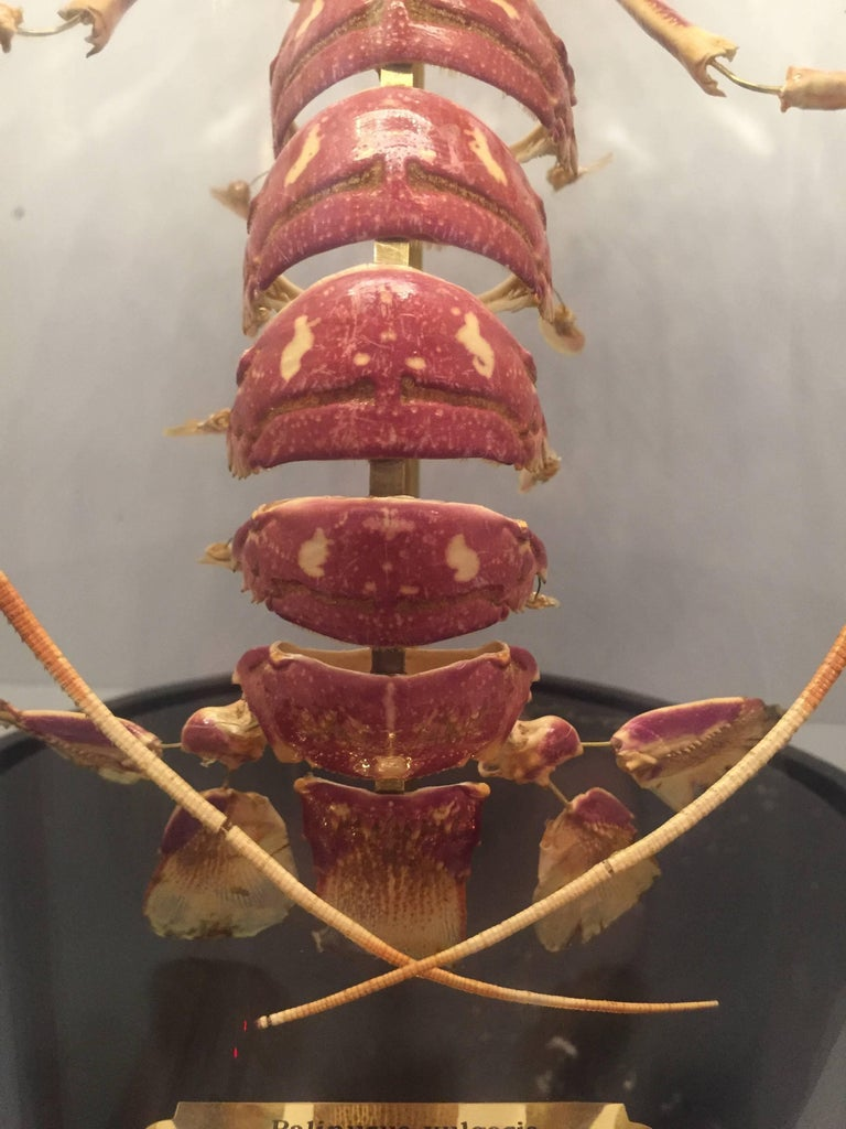 Contemporary Lobster, Deconstructed, Mounted on a Black Wooden Base in a Glass Dome, France