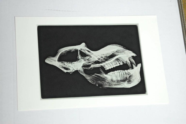 Rare and unusual set of five gelatin X-rayed animal skulls printed on high quality paper with a wide border. Beautiful contrast of skeletons against a grainy black ground. Interesting conversation pieces, as the animals appear ghost like with smokey