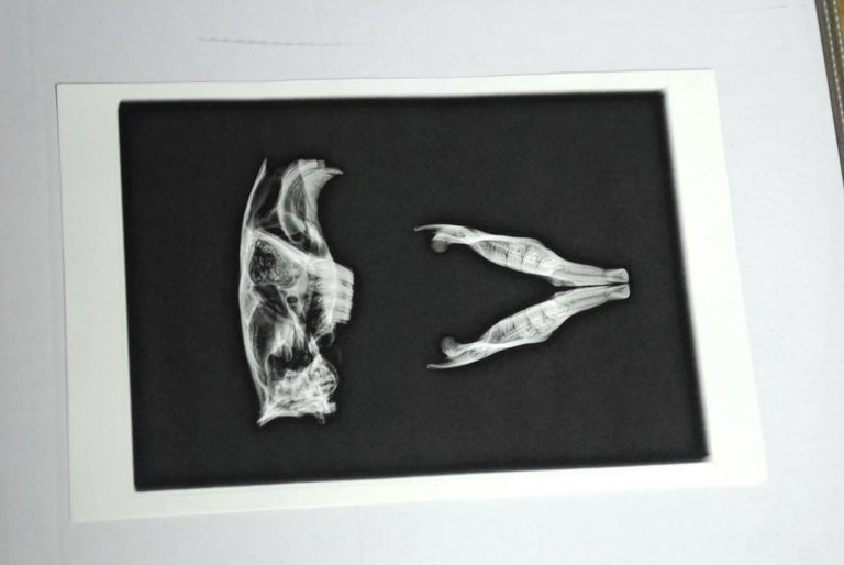 American Set of Five X-Rayed Animal Skull Prints For Sale