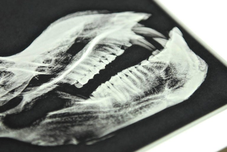 Paper Set of Five X-Rayed Animal Skull Prints For Sale