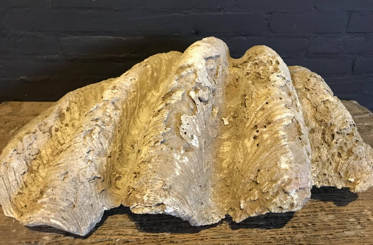 Fossil, Giant Clam 'Tridacna Gigas'