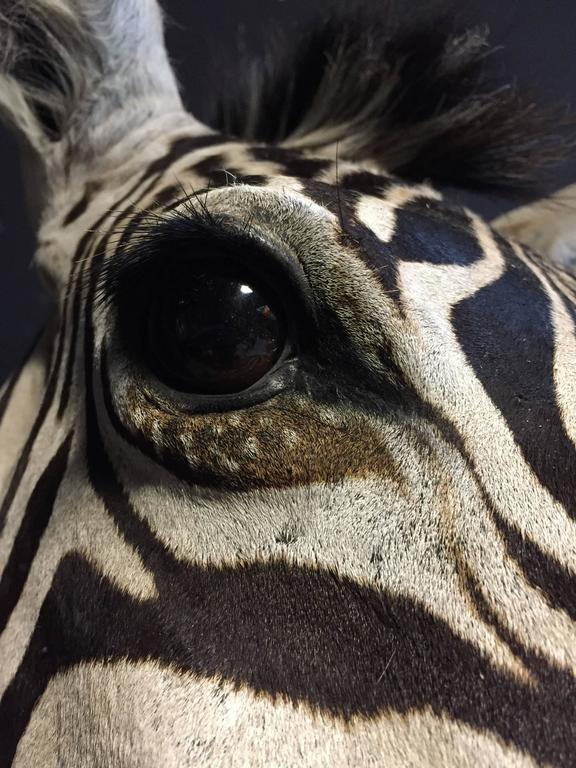 Contemporary Magnificent taxidermy zebra head For Sale