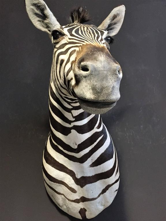 This beautiful Burchell zebra head is made with a lot of detail.