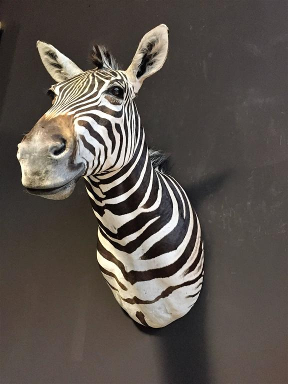 Magnificent taxidermy zebra head In Excellent Condition For Sale In Eindhoven, NL