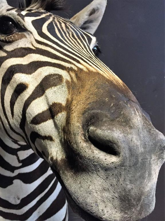 Magnificent taxidermy zebra head For Sale 2