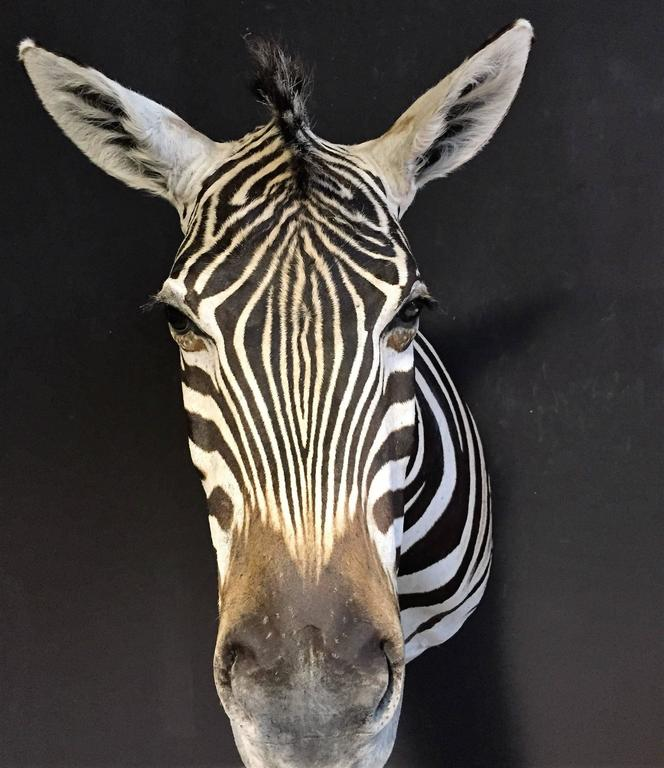 Magnificent taxidermy zebra head For Sale 1