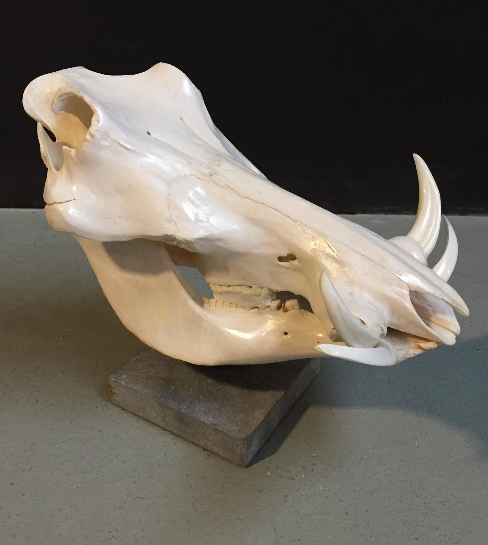 Warthog Skull on a Pedestal For Sale at 1stdibs