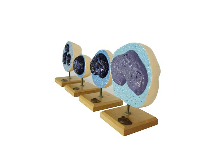 Set of Four Mueller-Ward 3d Cellular Mitosis Biology Models Copyright, 1941 In Good Condition In Seattle, WA