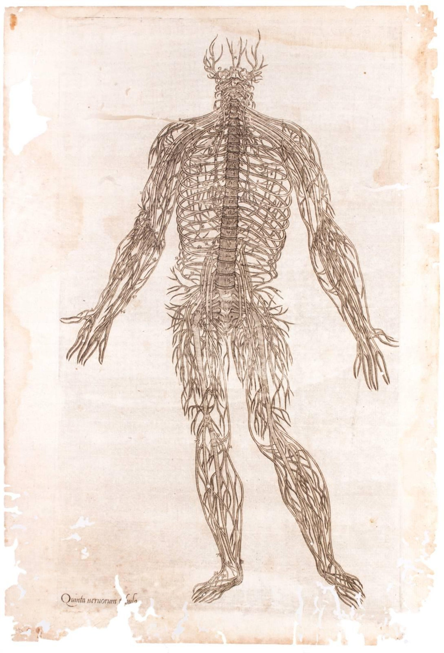 16th Century Andreas Vesalius Anatomical Print On Acrylic At 1stdibs