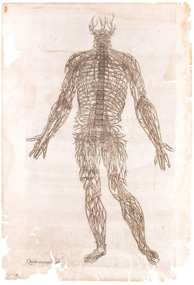 16th Century Andreas Vesalius Anatomical Print on Acrylic at 1stdibs
