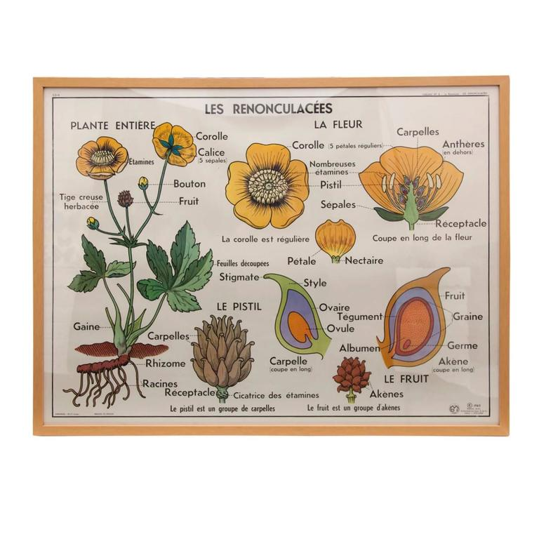 Vintage French Botanical Print in Natural Oak Frame, 2 of 2