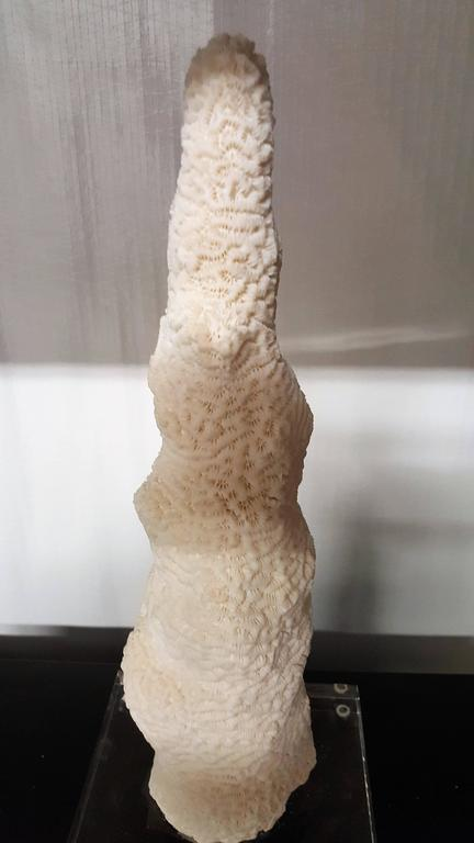 "A magnificent hard coral secured to a Lucite base that is believed to be ""pillar coral"" found in the western Atlantic Ocean and the Caribbean Sea. Pillar coral resembles fingers or a cigar cluster growing up from the sea floor without any secondary"