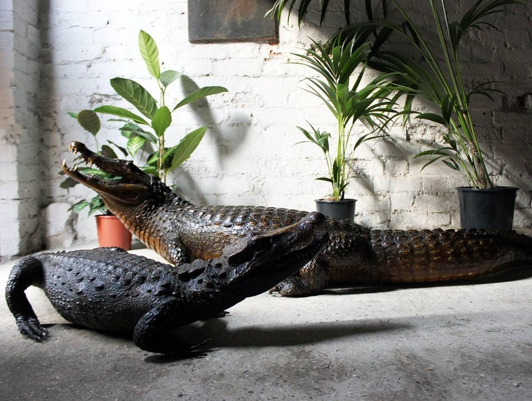 Wonderful Pair Of Late 19th Century Taxidermy African Nile