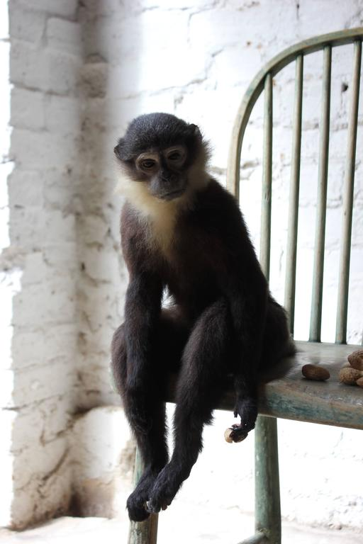 The rare and fine stuffed and mounted L'Hoest's monkey (Cercopithecus lhoesti) specimen mounted upon a well proportioned early nineteenth century stick-back child's single chair with remnants of the original green finish, the whole representing the